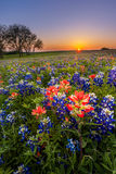 Wildflower du Texas - le bluebonnet et le pinceau indien mettent en place au coucher du soleil