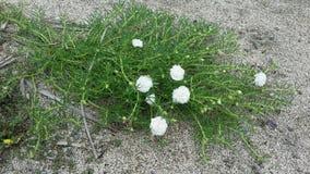 Wildflower durch den Strand Lizenzfreies Stockbild