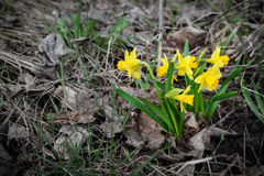 Wildflower easter daffodils among withered grass Royalty Free Stock Images