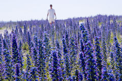 Wildflower echium vulgare.JH. Wildflower echium vulgare Domestic flower on Gotland in Sweden.JH stock image