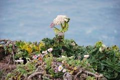 Wildflower en el top de punto Reyes Foto de archivo