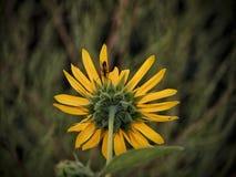Wildflower en primavera en el parque de estado del pueblo del lago imágenes de archivo libres de regalías