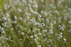 Wildflower - Eriocaulon henryanum Zdjęcia Royalty Free