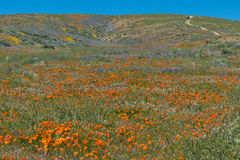 Wildflower explosion at Antelope Valley California Poppy Reserve Stock Photography