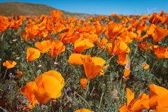 Wildflower explosion at Antelope Valley California Poppy Reserve. Orange poppies at the popular reserve near Lancaster, where winter rains propelled a massive Stock Images