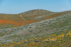 Wildflower explosion at Antelope Valley California Poppy Reserve Royalty Free Stock Images