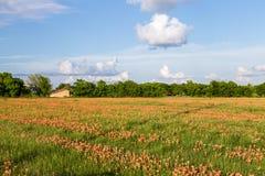 Wildflower - Feld und Ackerland des indischen Malerpinsels Stockfoto