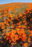 Wildflower Field. Poppy field (taken during height of Antelope Valley, CA, bloom cycle stock image