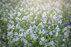 Wildflower field in the afternoon light fades. Many flowers forming carpet felt light as silk smooth soft spring break in beautiful sunshine Royalty Free Stock Photo