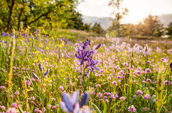 Wildflower field of camas Royalty Free Stock Image
