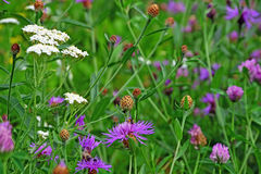 Wildflower field. Common (Black) Knapweed field and a white yerrow flower in the foreground Stock Photos