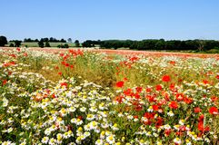 Wildflower field, Lichfield, England. Royalty Free Stock Photography