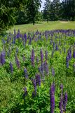 Wildflower field of purple lupine in the foreground with golf course and evergreen trees in background stock photography