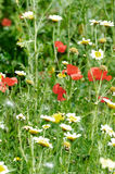 Wildflower field Stock Image