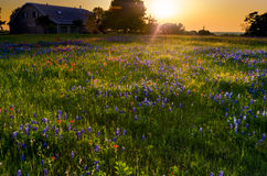 Wildflower Field Sunset Royalty Free Stock Photos