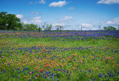 Wildflower field in Texas spring Royalty Free Stock Photos