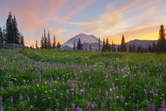 Wildflower fleurissant au lac Tipsoo, Mt rainier photos stock