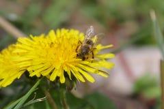 Wildflower, flor amarela, dente-de-le?o e abelha imagem de stock