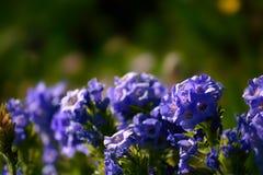 Wildflower Flower Plant för himmelpilot blom Arkivfoton
