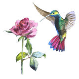 Wildflower flower rose and colibri bird in a watercolor style isolated. Wildflower rose flower and colibri bird in a watercolor style isolated. Aquarelle wild Royalty Free Stock Photos