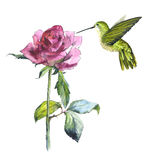 Wildflower flower rose and colibri bird in a watercolor style isolated. Wildflower rose flower and colibri bird in a watercolor style isolated. Aquarelle wild Stock Image