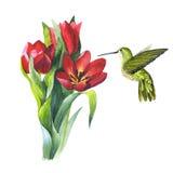 Wildflower flower tulip and colibri bird in a watercolor style isolated. Wildflower tulip flower and colibri bird in a watercolor style isolated. Aquarelle wild Stock Photos