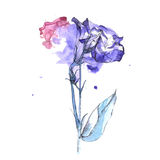 Wildflower flower in a watercolor style isolated. Aquarelle wild flower for background, texture, wrapper pattern, frame or border royalty free illustration