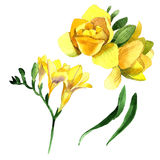 Wildflower fresia flower in a watercolor style isolated. Stock Photo