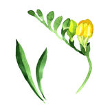 Wildflower fresia flower in a watercolor style isolated. Royalty Free Stock Photos