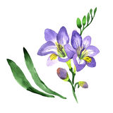 Wildflower fresia flower in a watercolor style isolated. Stock Images