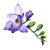 Wildflower fresia flower in a watercolor style isolated. Stock Image