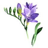 Wildflower fresia flower in a watercolor style isolated. Royalty Free Stock Photography