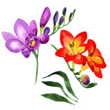 Wildflower fresia flower in a watercolor style isolated. Royalty Free Stock Images