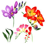 Wildflower fresia flower in a watercolor style isolated. Stock Photography