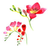 Wildflower fresia flower in a watercolor style isolated. Royalty Free Stock Photo