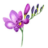 Wildflower fresia flower in a watercolor style isolated. Royalty Free Stock Image