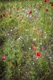 Wildflower-Garten in Schottland Stockbild