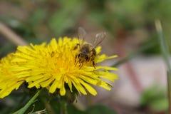 Wildflower, gele bloem, paardebloem en bij royalty-vrije stock foto's