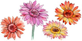 Wildflower gerbera flower in a watercolor style isolated. Full name of the plant: gerbera. Aquarelle wild flower for background, texture, wrapper pattern Stock Photo