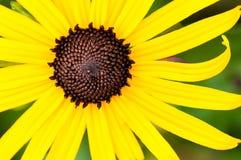 Wildflower giallo Immagine Stock Libera da Diritti