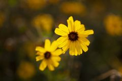 Wildflower giallo di California che cresce in spiaggia di Newport della riserva naturale del Back Bay immagine stock