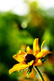 Wildflower giallo Sunlit Fotografie Stock