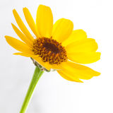 Wildflower Glow. A macro shot of a yellow wildflower shot against a white background stock photos