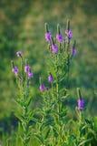 Wildflower grisalho de Vervain Imagem de Stock