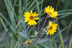 Wild sunflower triumvirate stock image