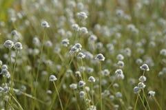 Wildflower - henryanum Eriocaulon Стоковые Фотографии RF