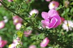 Wildflower - hibisco azul Imagen de archivo libre de regalías
