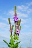 Wildflower Hoary di Vervain (stricta della verbena) Fotografie Stock