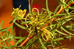 Wildflower indigène australien - Grevillia Image libre de droits