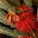 Wildflower indigène australien - Grevillia Images stock